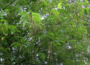 Wild cherry tree loaded with thousands of tiny green cherries