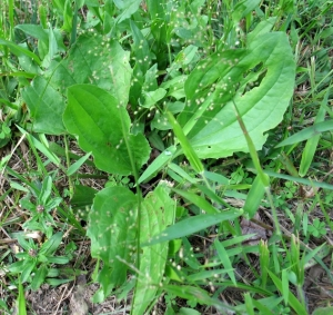 common plantain