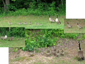 duck families