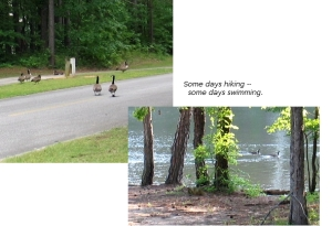 campground ducks