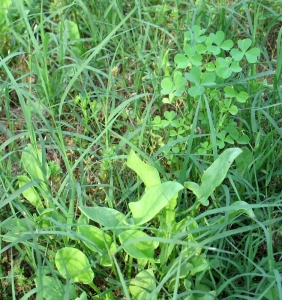 sheep sorrel with wood sorrel in background