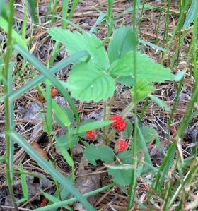 Wild strawberries in my yard