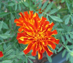 orange marigold