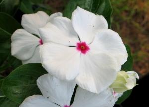 white periwinkles