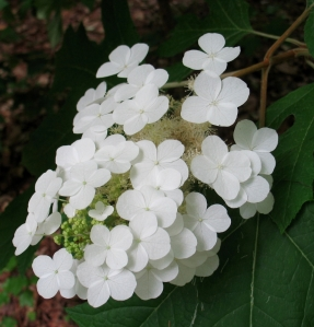 unknown showy white flowers