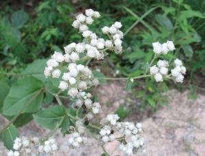 wild quinine