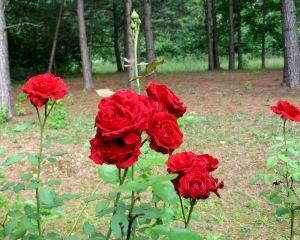 unsprayed roses