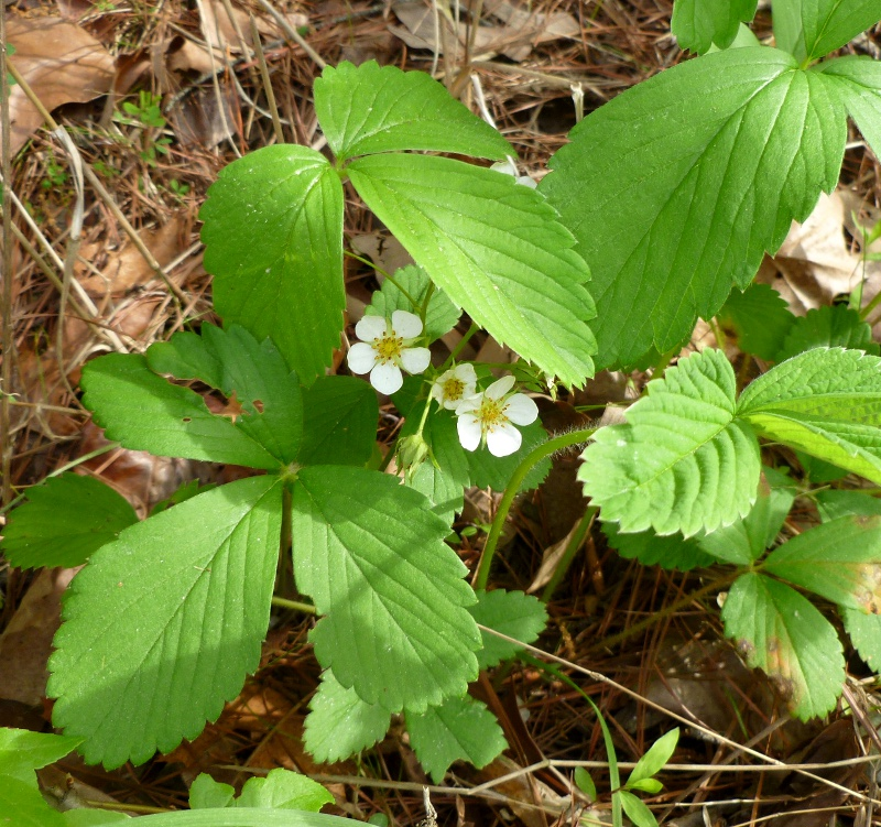 Wild Strawberry Vine These wild strawberry plants