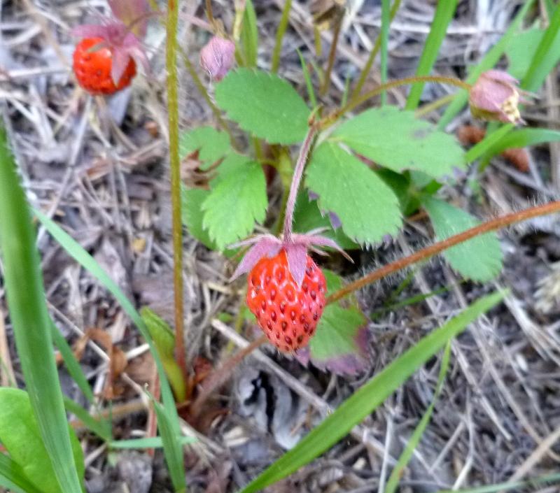 Wild Strawberry Vine Almost ripe wild strawberries