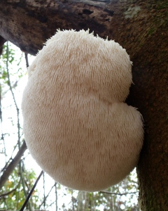 Bearded tooth mushroom