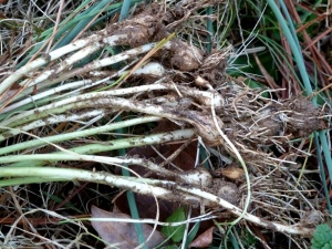 Field garlic bulbs