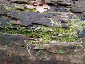Moss on fallen log