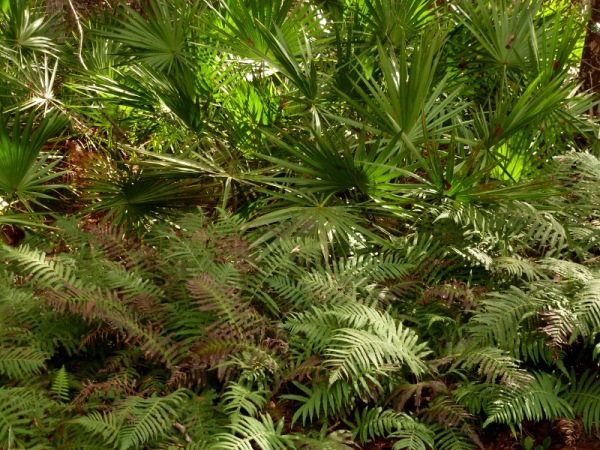 Palmettos and ferns