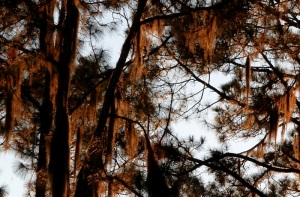 Sunset reflecting from Spanish moss