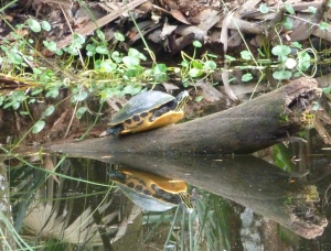 Turtle in the canal