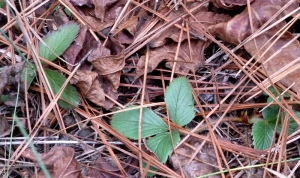 Wild strawberry leaves make a nutritious tea