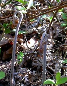 Bracken fiddleheads