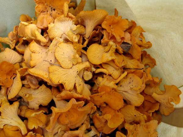 A mix of golden and smooth chanterelles