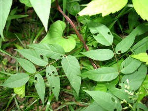 Groundnut leaves.  Groundnuts generally grow by streams.