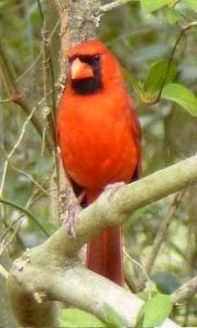 Here's papa cardinal.