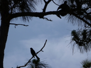 There are many birds here.  Sitting outside listening to them is a pleasure.  This photo shows two of them in one tree.