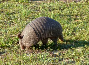 One of the ever-present armadillos rooting for food