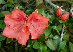 Most of the spring flowers are gone now, but a few azaleas are left.
