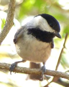 Hope took this picture of a black capped chickadee today