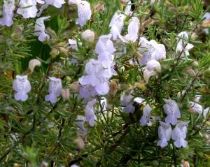 Conradina -- a new plant to me.