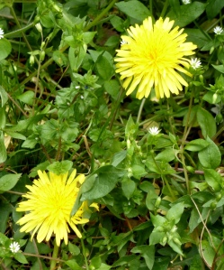 Dandelions and chickweed