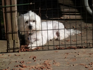 One particular little dog would much prefer to be leashed than caged.