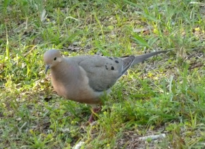 Another dove photo