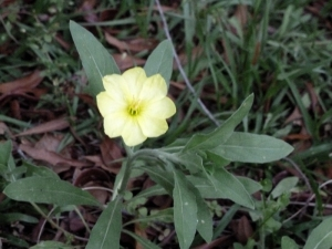 Evening primrose.  They bloom after the sun goes down and all parts are edible.  Cecil has a field of them!