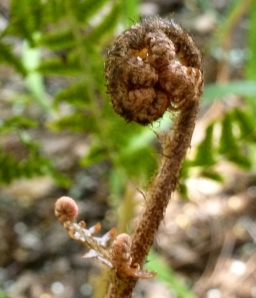 Fern fiddlehead -- from a Boston fern in Hope's garden.