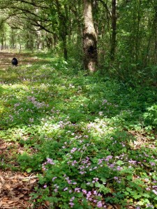 Field of oxalis