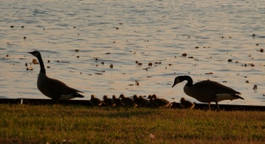 It was almost too late in the day to photograph this family of geese.