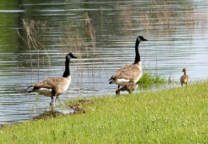 The goose family I also photographed yesterday