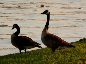 More geese