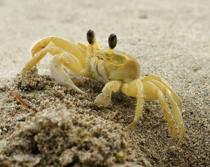 Ghost crab photo from Wiipedia