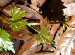 Baby wild muscadine grape leaves