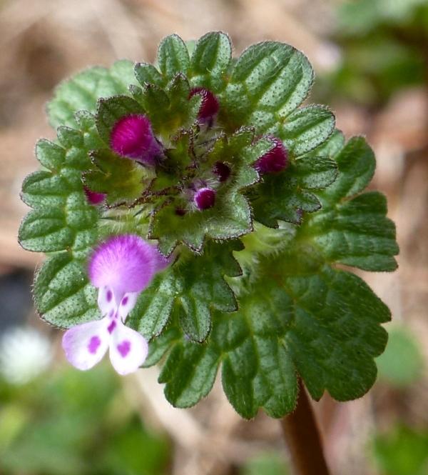 Beautiful little henbit flowers