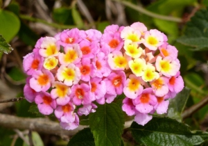 Wild lantana at our campground