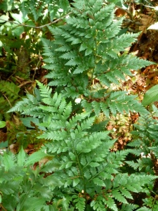 Leatherleaf florist's ferns