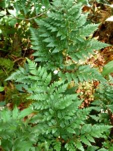 Leatherleaf florist's ferns