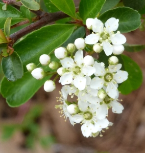 I think this is Chinese privet