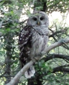 This owl perched in the tree near our Casita.  He's a bit fuzzy due to my camera being at maximum zoom.