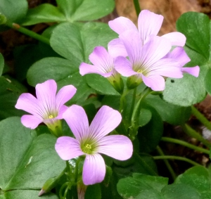Closeup of the beautiful shamrock-like oxalis