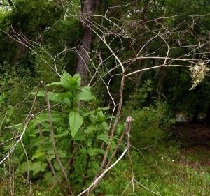 Pokeweed with last year's skeleton still standing