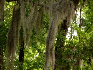 Spanish moss in trees across from our campsite
