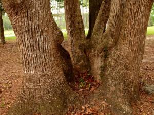Triplet trees?